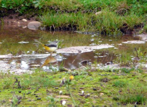 grey wagtail - Orcombe Point