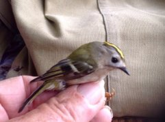 1st. Yr.m.  ' continental' Goldcrest.