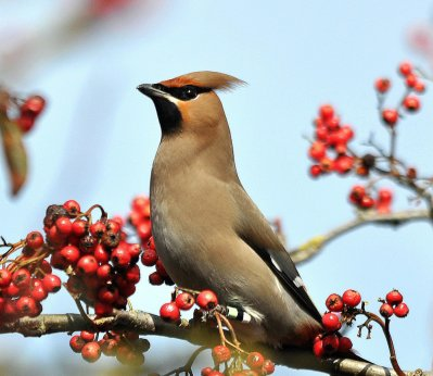 Waxwing by Stan Stanbury, Exeter 17.3.13