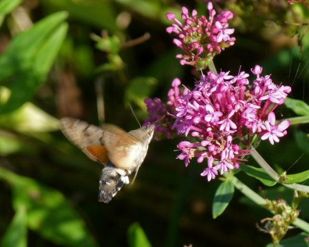 Hummingbird Hawkmoth Berry Hd 31 Aug 14 ML