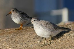 Purple Sandpiper and Knot