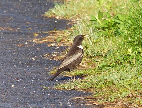 Ring Ouzel at Berry Head