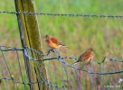 Linnet © Kenneth Bradley, 19/6/2020, Colyton, Pair seen with Yellowhammer sat on the same fences post.