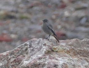 Black Redstart Berry Head 23 Oct 2020 ML