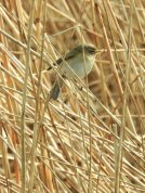 Chiffchaff in the reeds Sherpa Marsh