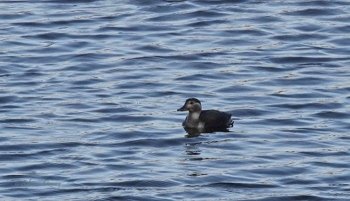 Juvenile Long Tailed Duck at Roadford
