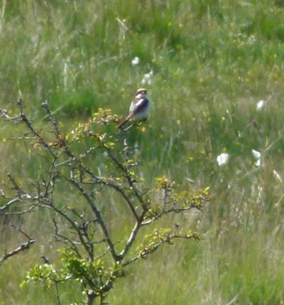 Woodchat Shrike George Harris 21.6.14 Swell Tor