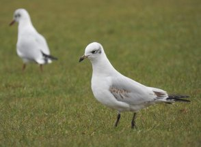Med Gull fw Broadsands 030321ML