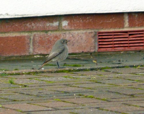 Exmouth Sailing Club Black Redstart