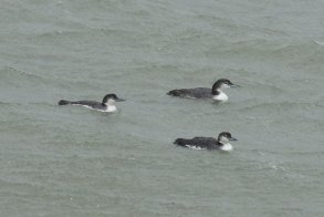 Great northern divers sheltering in the cove.