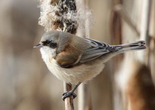 Penduline Tit feeding on reed heads