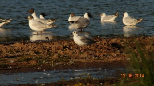 1st Summer Bonaparte's Gull