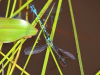 Azure Damselfly attacked by Water Boatman