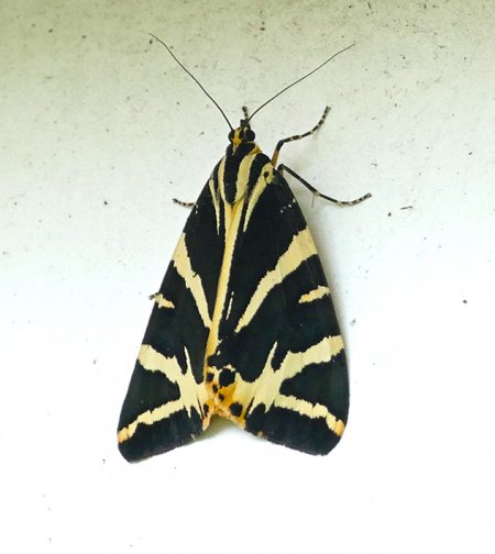 jersey Tiger Clennon Valley 25 July 2016 ML