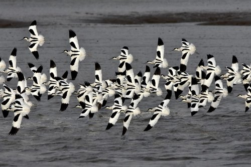 Avocets flying on the River Tamar