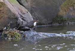 Dipper, River Otter by Chris Townend