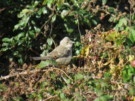 Barred Warbler 27 October