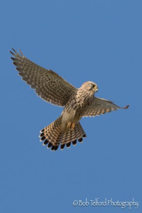 Female Kestrel at Prawle