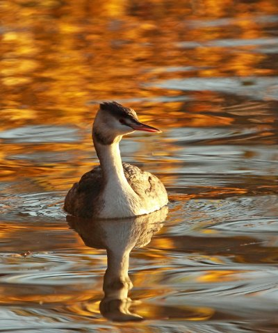 Gt Crested Grebe Adrian Davey Stover Nov 2012