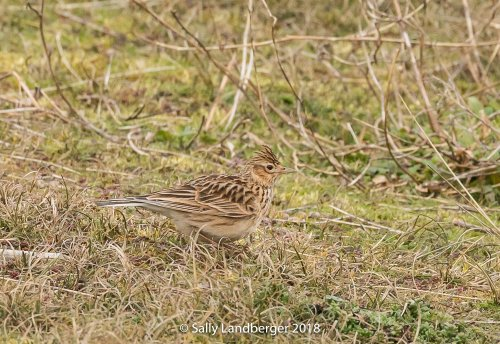 Skylark at Warren Point