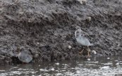 Ruff and Redshank