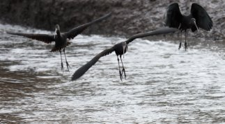 Three Glossy Ibis