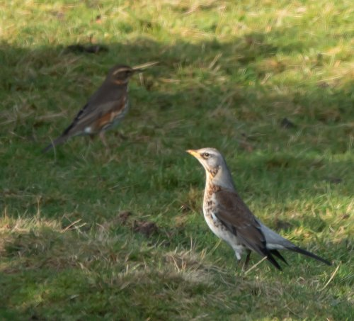 Fieldfare and Redwing -Wallabrook - 10/1/2020