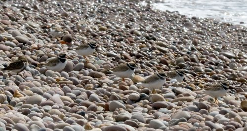 Ringed Plovers on Budleigh Beach