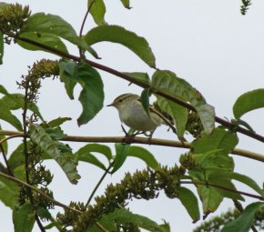 Yellow-browed Warbler Berry Hd 7 Oct 13 ML