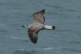 Yellow legged gull, juv/1st w