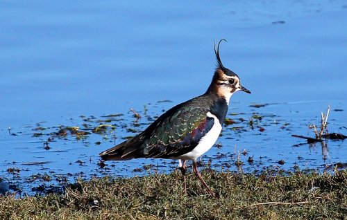 Lapwing showed well close to the hide