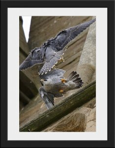 Photo 35 - Peregrines by Mark Dyer