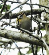Further record shot of firecrest in Braunton
