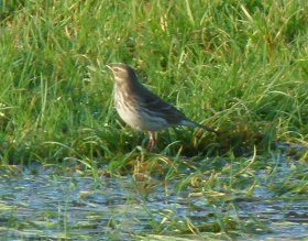 possible Littoralis Rock Pipit Broadsands 14 Nov 12 ML