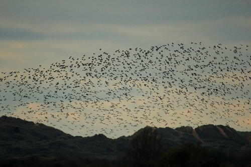 500 to 1000+ Golden Plover over the Great Field Braunton