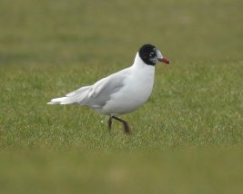 Med Gull ad Broadsands 030321ML