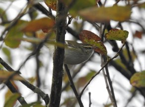 Yellow-browed Warbler Broadsands 23 Nov 2020 ML