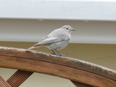 male cairei Black Redstart Brixham 2 April 2018 ML