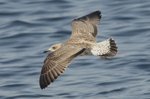Juv Yellow-legged Gull