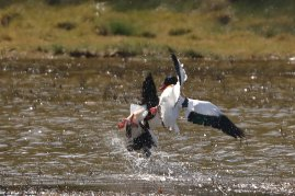 Younger male Shelduck forced to crash headlong into shallow water.