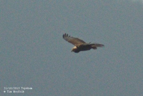 Marsh Harrier - Topsham 21/10/2013