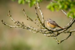 Redstart (female)