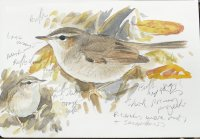 Dusky Warbler sketch Clennon Lakes Nov 8th 2017 ML