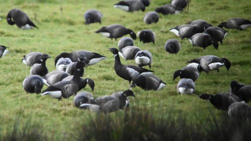 Black Brant at Darts Farm