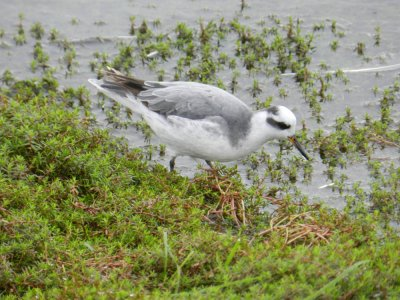 Grey Phalarope by Brian Craven at Roadford 31.10.13