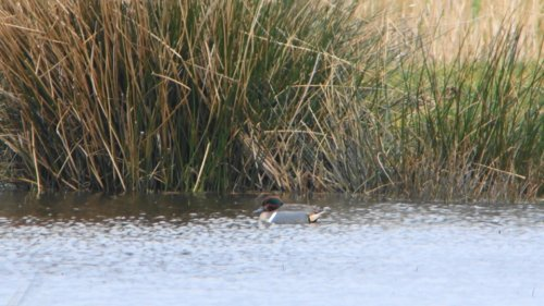 Green-winged Teal at Seaton Marsh