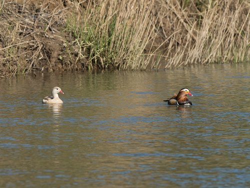 Distant view of a very pale female Mandarin with the male