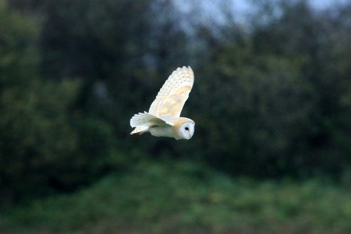Record shot two of Barn Owl