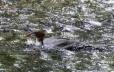 Goosander, one of the family group