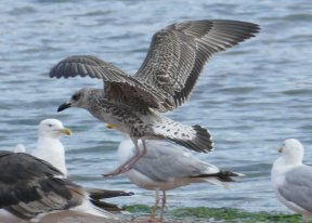 Yellow-legged Gull juv Broadsands 11 Aug 2016 ML